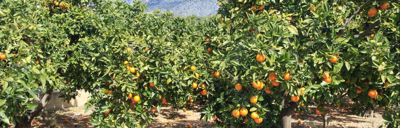Orangeraie à Altea en Espagne