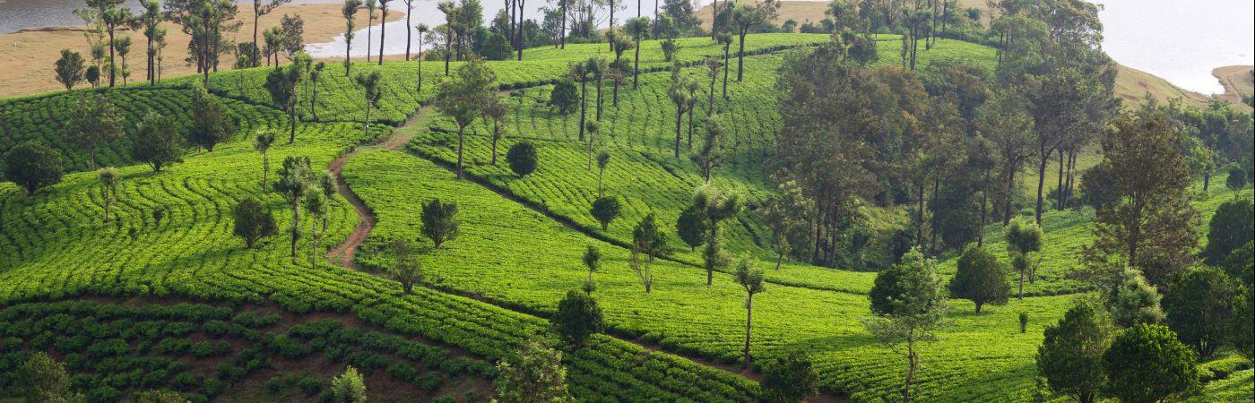 Plantations de thé dans les monts des Cardamomes