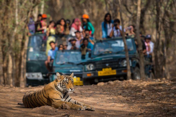 Tigre du Bengale dans le parc de Ranthambore