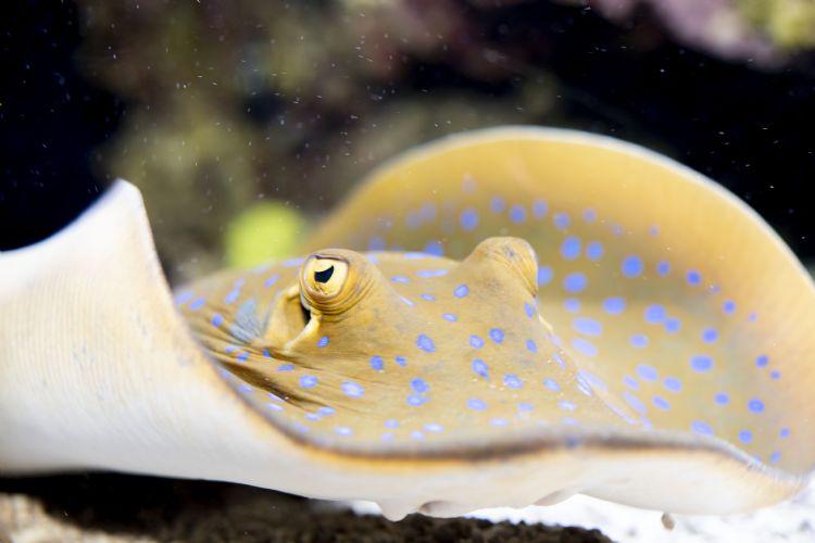 Raie à pois bleus à l'aquarium de Monaco