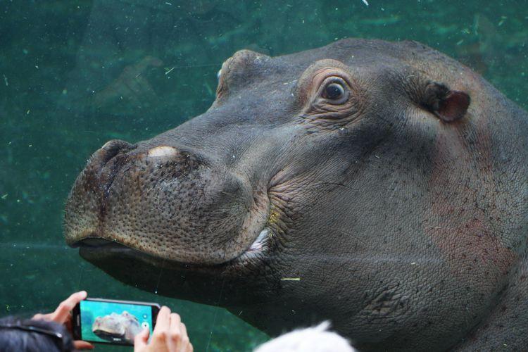 Hippopotame au zoo de Beauval